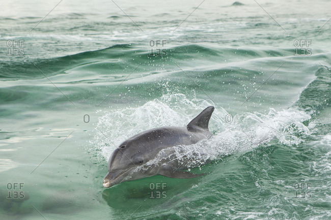 Atlantic bottlenose dolphin playing in the wake of a boat.