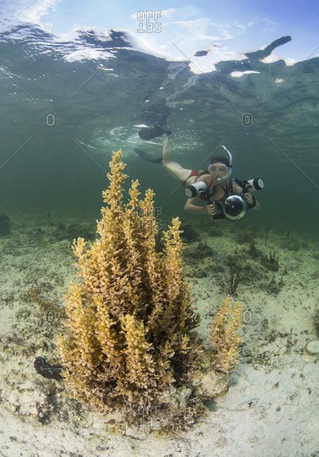 Photographer snorkelers towards a Sargassum plant.