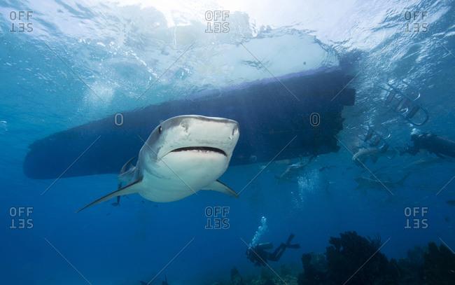 Tiger shark swims approaches camera; other scuba divers photograph Lemon sharks near the dive vessel.