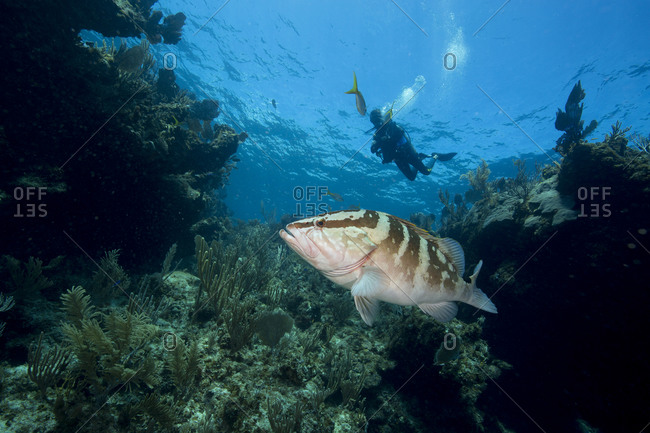Scuba diver views a lone grouper on a coral reef in The Abacos.