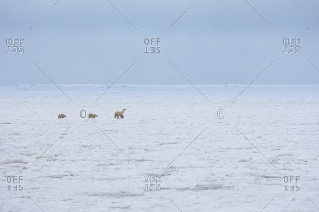 A polar bear group, an adult and two cubs on a snowfield in Manitoba