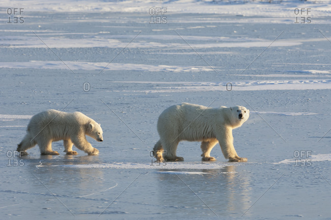 Two polar bears walking on a snowfield in Manitoba