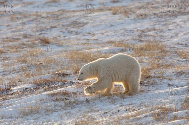 A polar bear crossing a snowfield, at sunset
