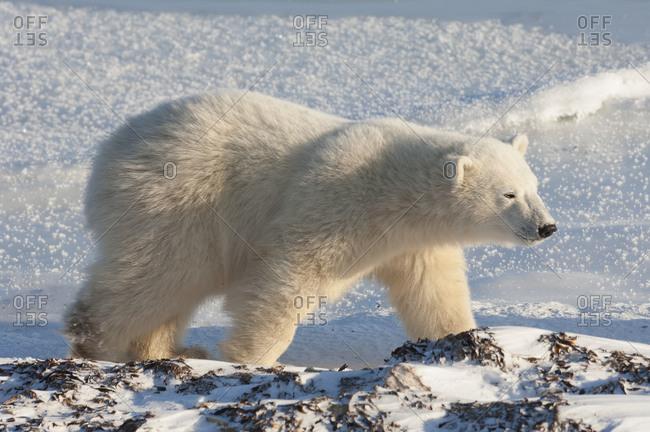 A polar bear on a snowfield in Manitoba