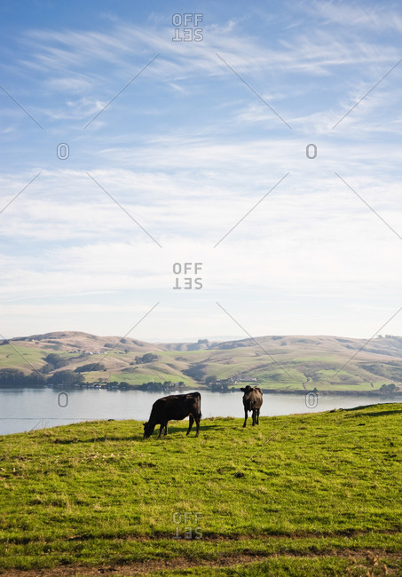 Cows graze with Tomales Bay in the background