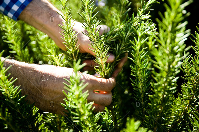 Close up of man harvesting rosemary