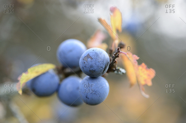 Close-up of blackthorn (prunus spinosa) fruits in Autumn, Bavaria, Germany