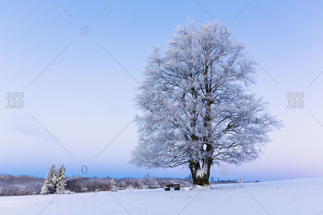 European beech (fagus sylvatica) tree covered with hoar frost in winter at dawn, Hesse, Germany
