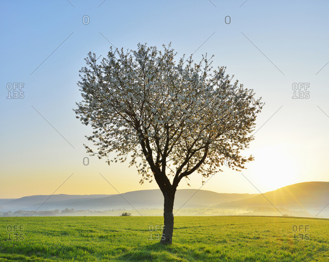 Blossoming cherry tree in spring at sunrise, Miltenberg, Spessart, Franconia, Bavaria, Germany