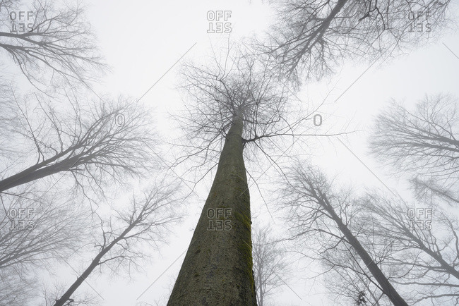 Looking up at European beech forest (fagus sylvatica) in early morning mist, Odenwald, Hesse, Germany