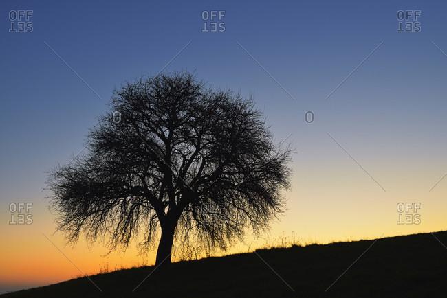 Fruit tree before sunrise, Odenwald, Hesse, Germany