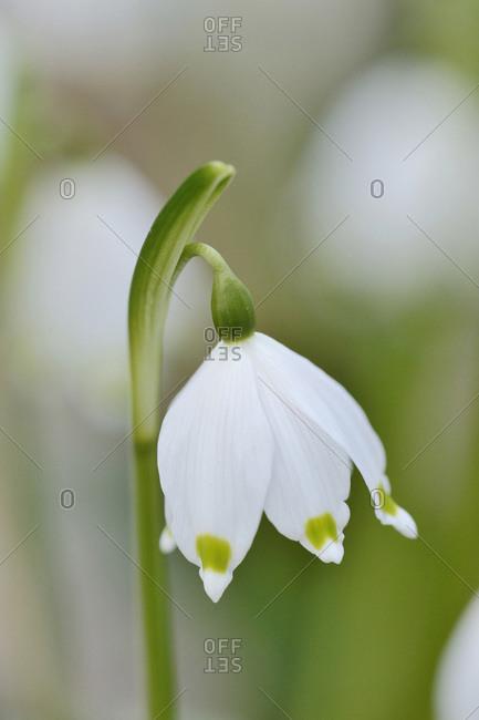Close-up of Spring Snowflake (leucojum vernum) blossom in spring, Upper Palatinate, Bavaria, Germany