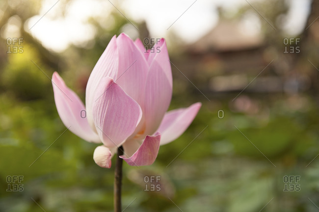 Close up of a pink lotus flower in Ubud, Bali