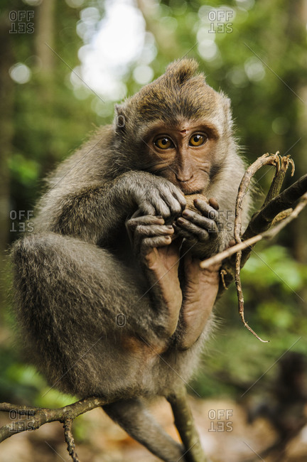 Macaque in the forest of Ubud, Bali, Indonesia