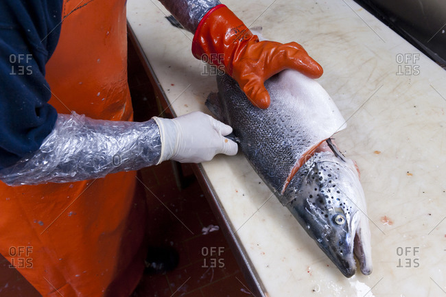 A King Salmon being filleted at a wholesale fish distributor