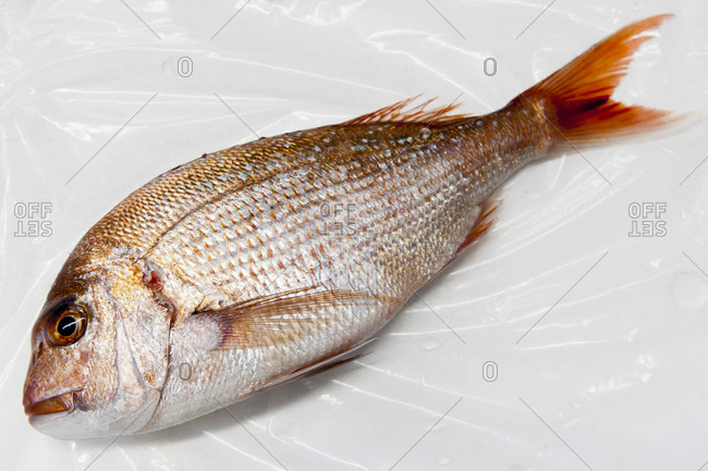 A red snapper in a wholesale fish market
