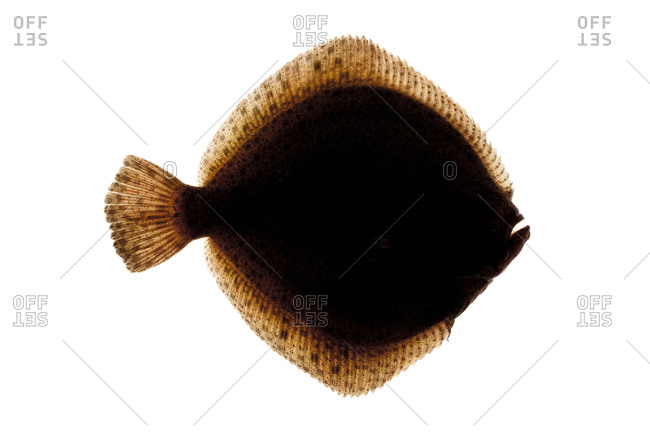 The Turbot (Scophthalmus maximus) is a species of flatfish