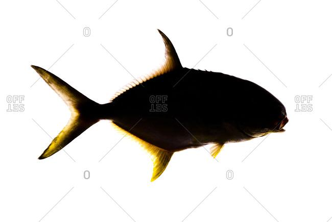 The Florida pompano (Trachinotus carolinus) is a species of marine fish in the Trachinotus (pompano)