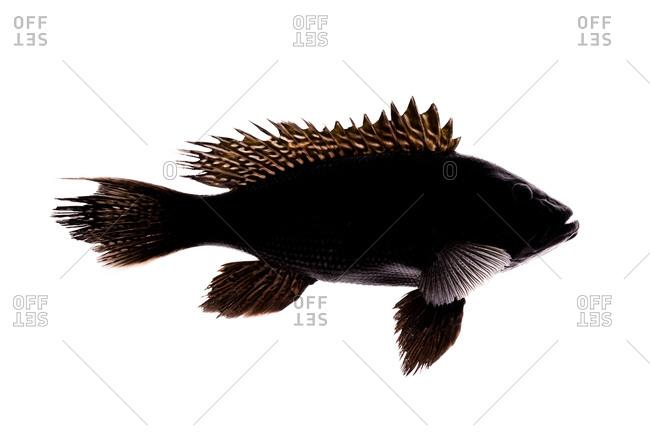 The black sea bass (Centropristis striata) is a type of Grouper (Serranidae)
