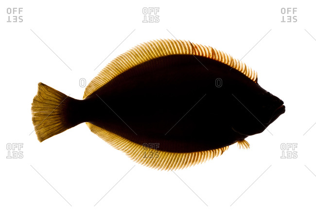 The winter flounder, Pseudopleuronectes americanus, (also known as black back)