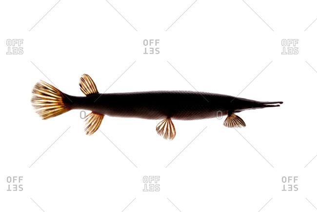 The longnose gar, Lepisosteus osseus, is a primitive ray-finned fish