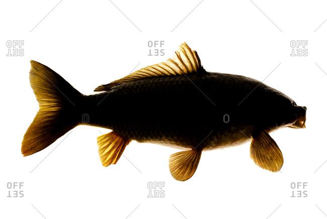 The Common carp (Cyprinus carpio)