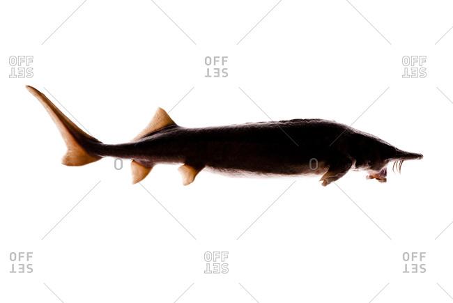 The Siberian sturgeon (Acipenser baerii) is a species of sturgeon