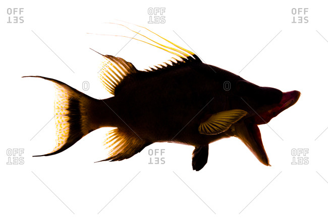 A hogfish is a large wrasse, Lachnolaimus maximus