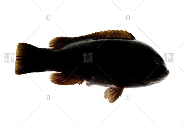 The tautog or blackfish (Tautoga onitis)