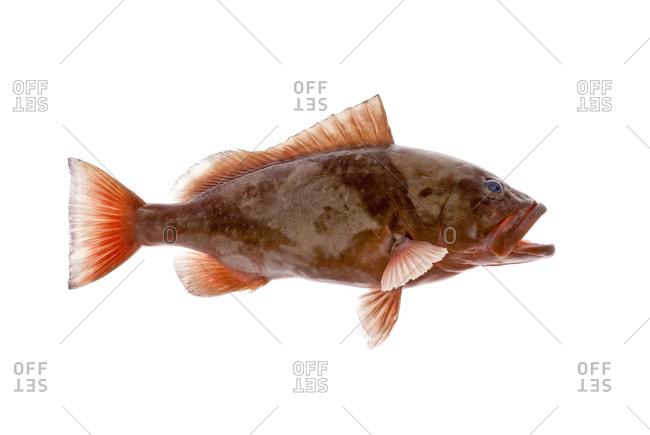The red grouper (Epinephelus morio)