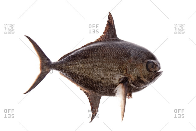 Pomfret are perciform fishes