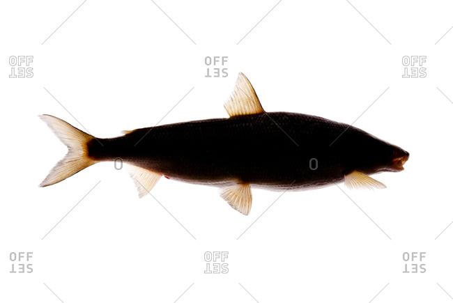 The lake whitefish (Coregonus clupeaformis)