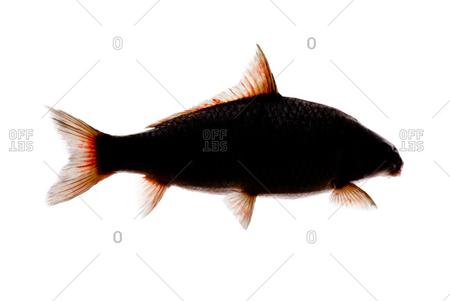 The quillback (Carpiodes cyprinus) is a type of freshwater fish