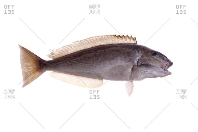 A fresh tilefish
