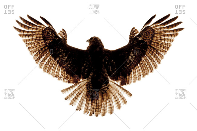 The Red-tailed Hawk (Buteo jamaicensis) is a bird of prey