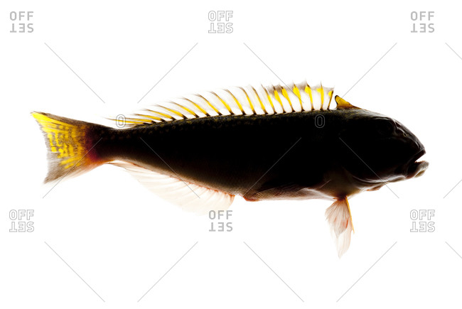 silhoutte of a generally shallow-water tilefish
