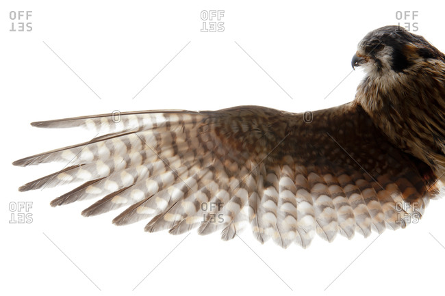 The American Kestrel (Falco sparverius), sometimes colloquially known as the Sparrow Hawk