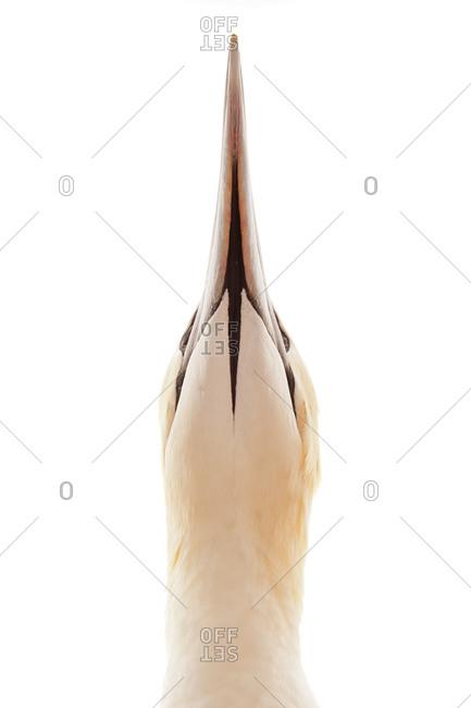 Head of  The Northern Gannet (Morus bassanus) is a seabird