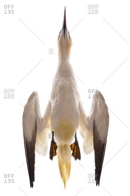 Detail of The Northern Gannet (Morus bassanus) is a seabird