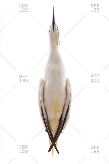 The Northern Gannet (Morus bassanus) is a seabird