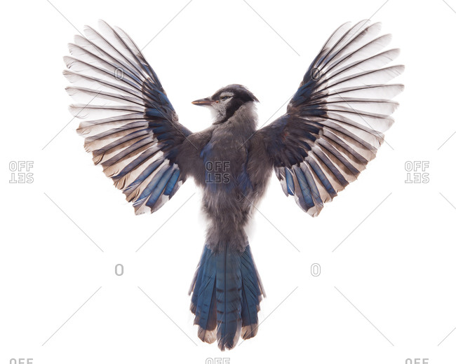A deseased Blue Jay with its wings spread