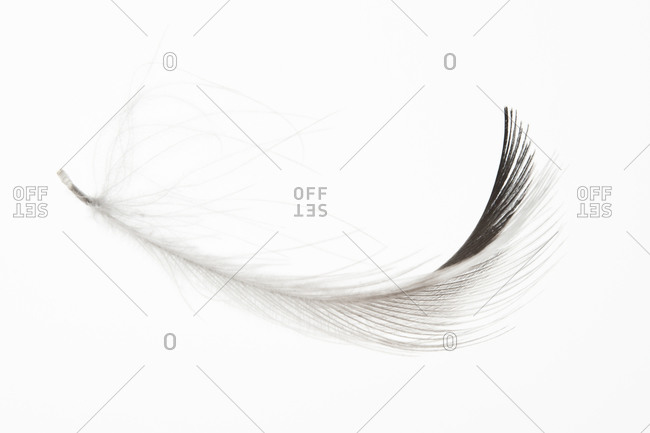 A feather of A feather of The Great Northern Loon, Great Northern Diver, or Common Loon (Gavia immer)