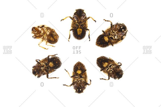 A group of Magicicada bugs
