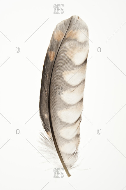 A feather of A feather of The American Kestrel (Falco sparverius), sometimes colloquially known as the Sparrow Hawk