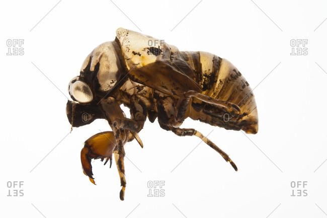 A close up of a Magicicada bug