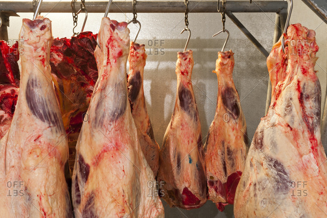 A cooler full of hanging beef shanks