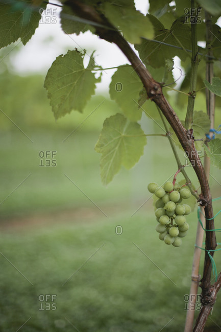 Ripening wine grapes in vineyard