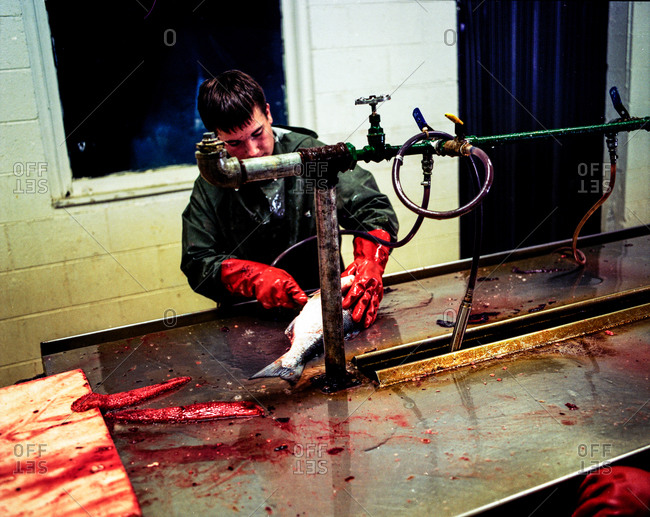 Clam Gulch, Alaska - January 30, 2012: Man cleaning salmon in a canning plant