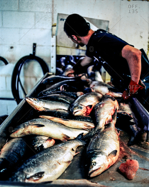Worker cleaning salmon in a canning plant in Alaska