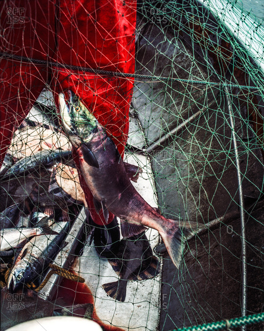 Fish tangled in a net